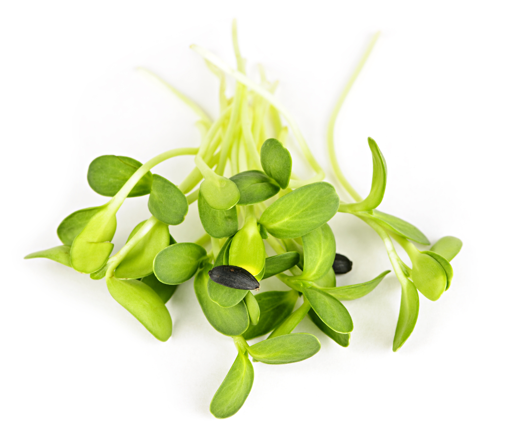 Green sunflower sprouts