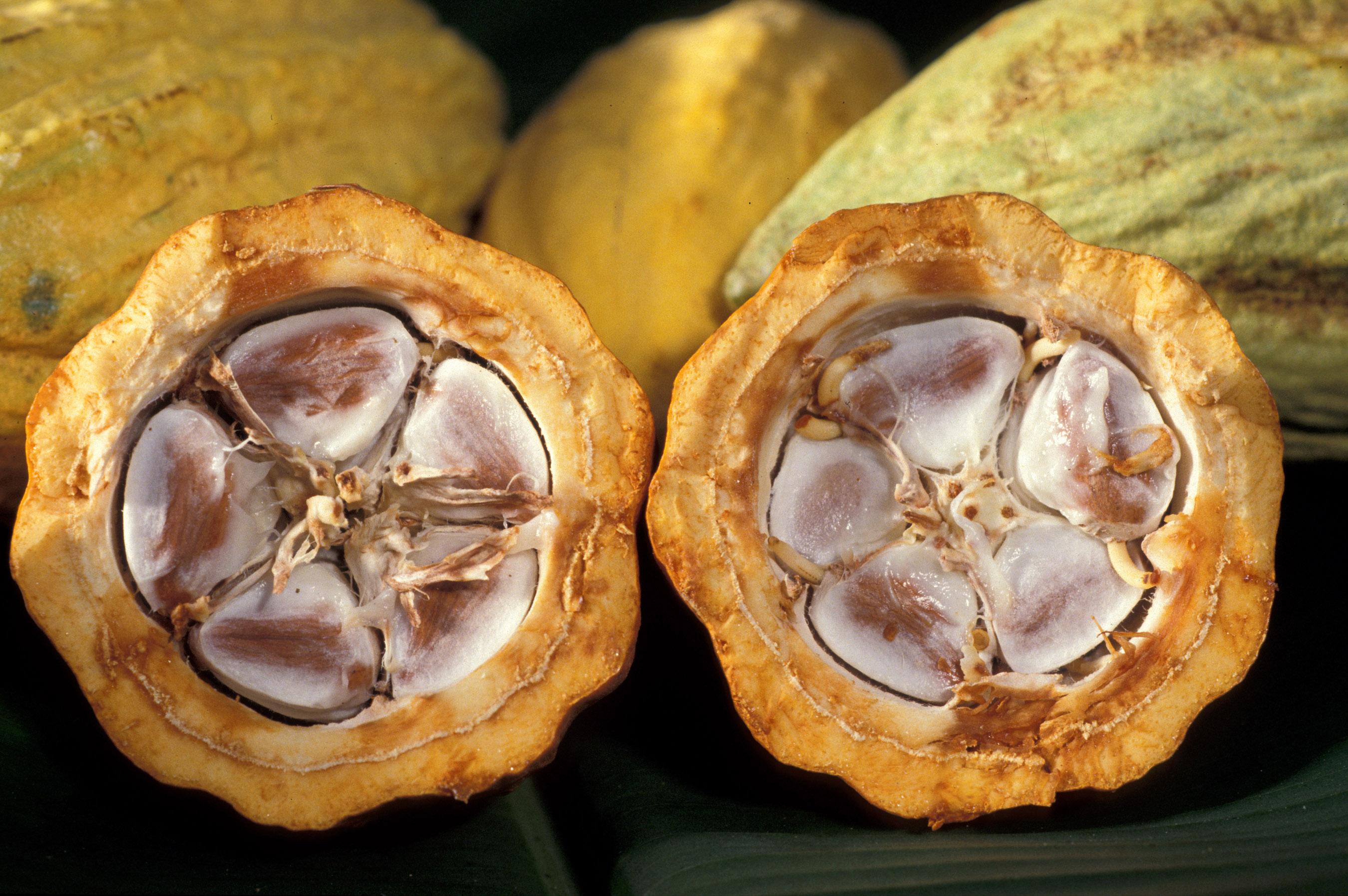 Cacao-pod-k4636-14-Keith Weller