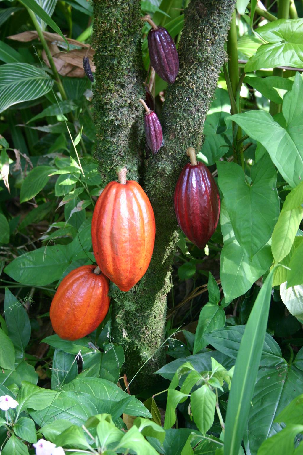 Kakaotre